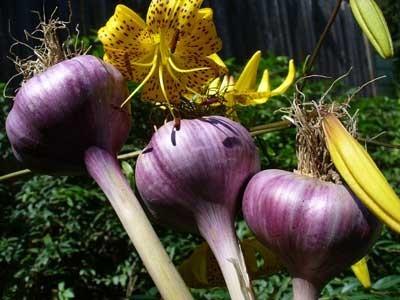 garlic supplier, garlic suppliers, garlic supplier in iran, iranian garlic supplier, iranian garlic suppliers, garlic wholesalers, garlic sales, wholesale garlic in iran, garlic wholesaler price