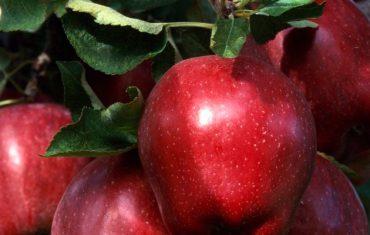 apple supplier, apple wholeslaers, appler suppliers, iranian appler supplier, iranian appler suppliers, appler price, iranian apple price, iran apple price, apple for sale, iranian appler for sale, iranian apple price, apple, apple fruit, apple cargo wholesale