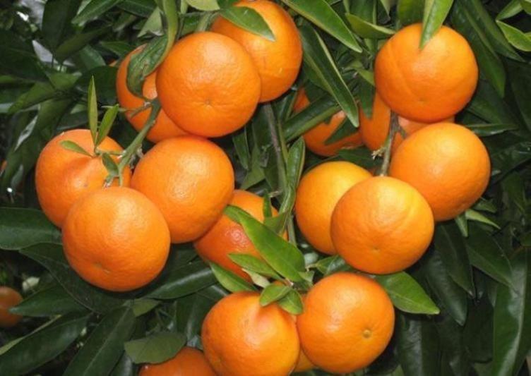 orange supplier, orange suppliers, orange wholesalers, iran orange supplier, iran orange suppliers, iranian orange suppliers, orange wholesalers in iran, iran orange wholesalers