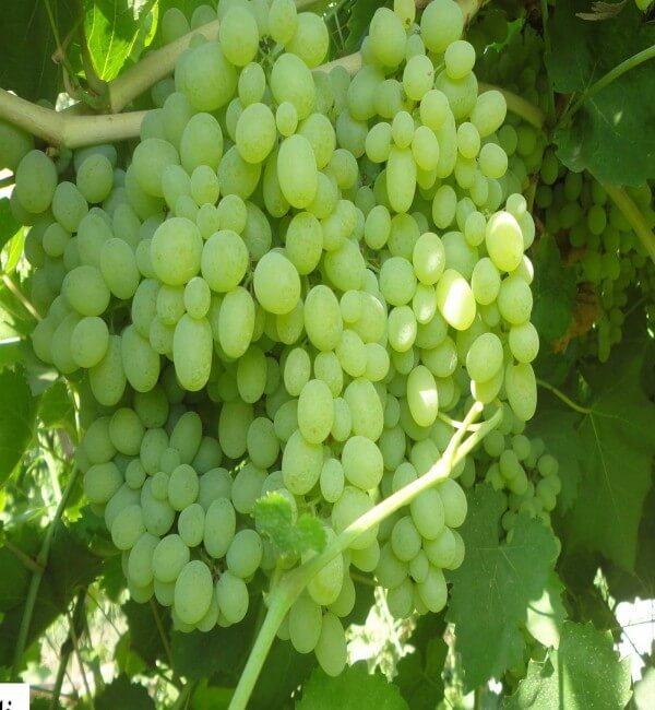grapes supplier, grapes wholesalers, grapes wholesale, iran grapes supplier, iranian grapes, iranian grapes supplier, grapes suppliers in iran, grapes wholesalers in iran